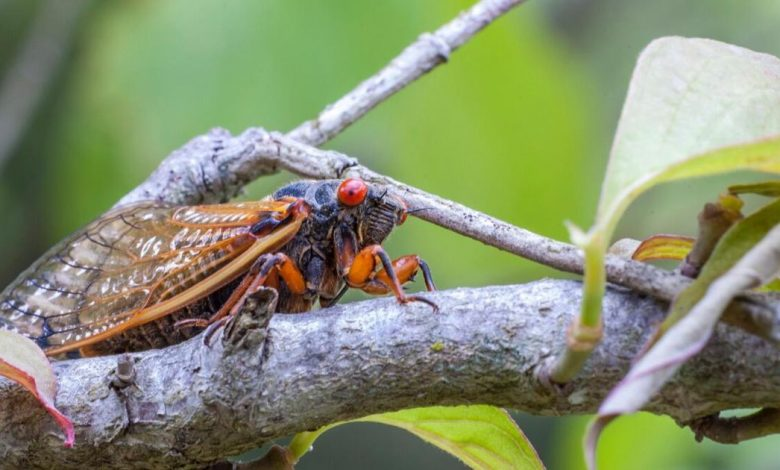Millions and millions of cicadas set to invade US for first time in 17 years