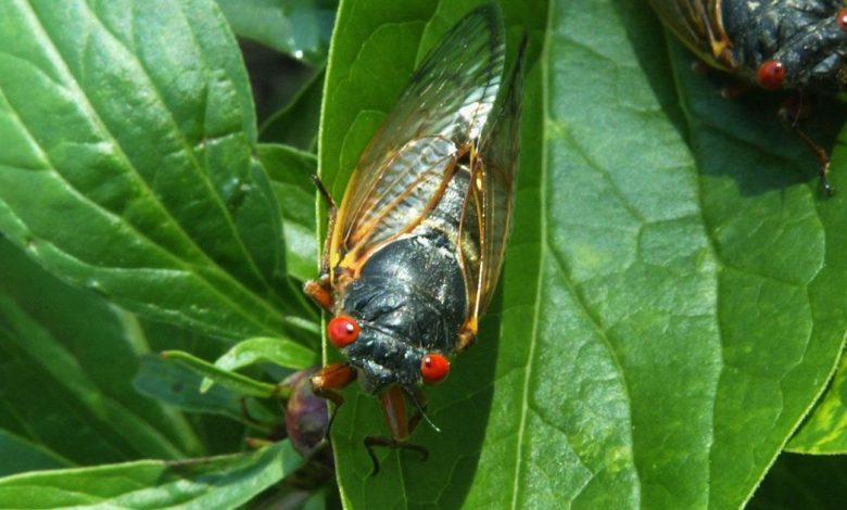 Billions of bugs: Meet the cicada chasers trailing Brood X