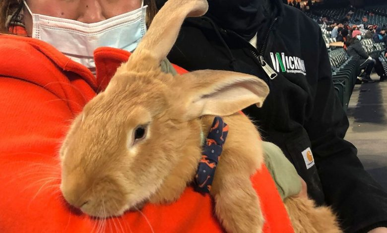 Therapy bunny in Oracle Park stands a hit with San Francisco Giants' fans