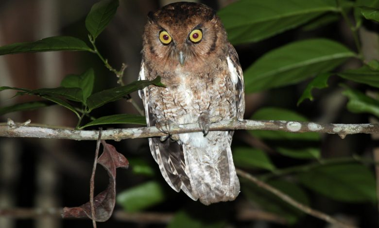 Two New Species of Screech Owls Discovered in Amazon Rainforest – Both Are Already Critically Endangered