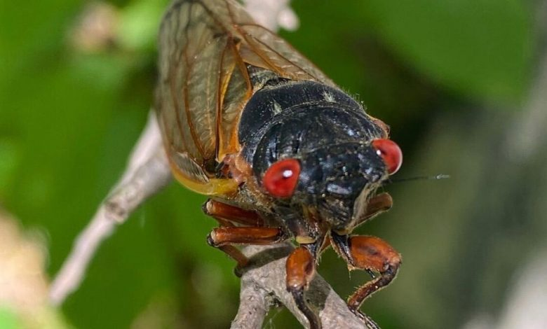 Brood X cicada emergence in photos: How it looks as trillions of bugs appear