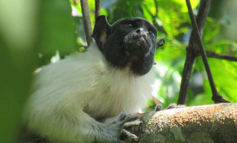 """Primates Change Their """"Accent"""" in Shared Territory to Avoid Conflict"""