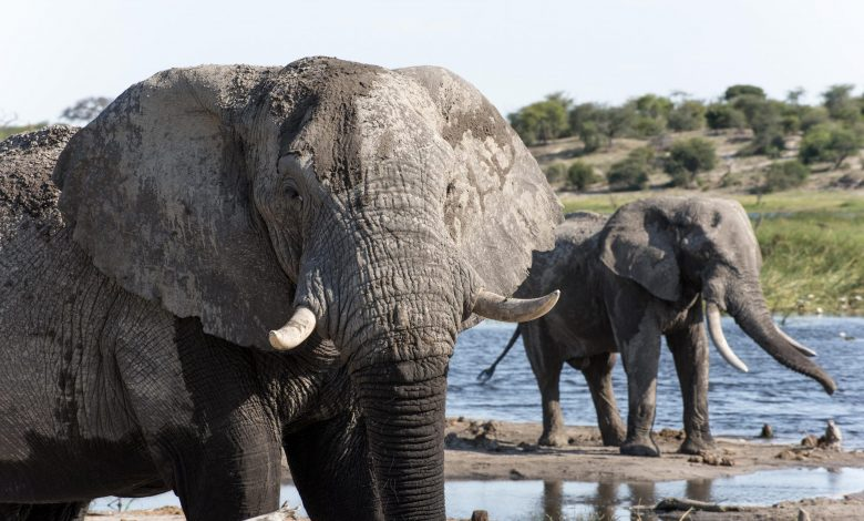 Scent Trails of Dung and Urine Could Boost Elephant Conservation