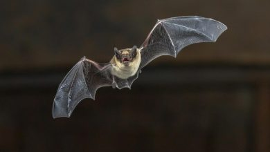 Pipistrelle Bat Flying