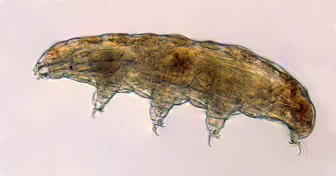 Tardigrades, or water bears, are being sent to the space station to study how they survive in high stress environments.