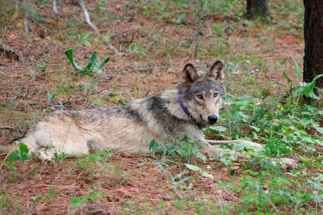 A protected gray wolf is seen near Yosemite, Calif., in Feb. 2021. The Biden administration said Friday, June 4 it is canceling or reviewing a host of actions by the Trump administration to roll back protections for endangered or threatened species, with a goal of strengthening a landmark law while addressing climate change.