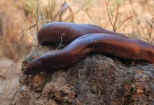 red sand boa, Forest officials, rare non-poisonous snake, medicines, cosmetics, black magic, four he