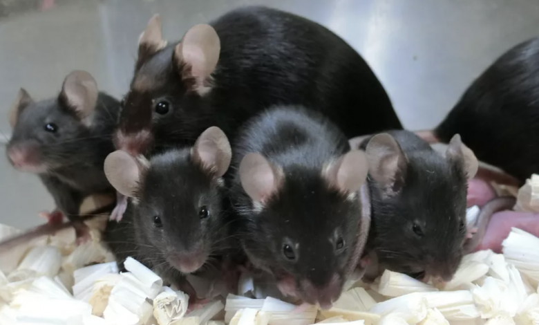 After almost six years in space, frozen mouse sperm produces healthy space pups