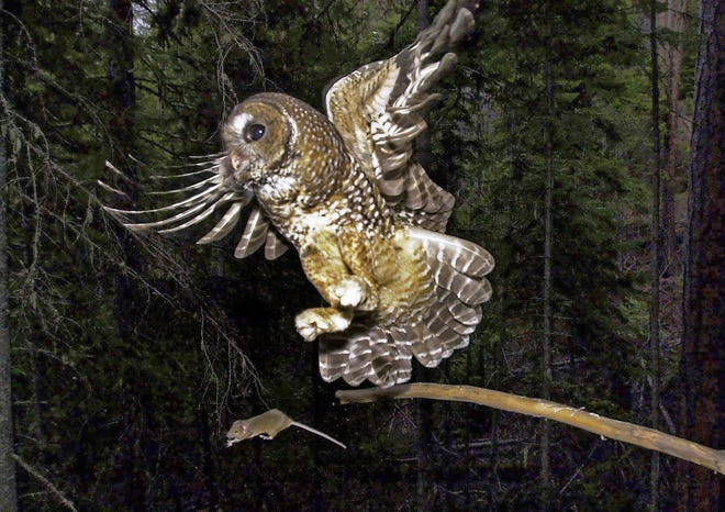 In this May 8, 2003, file photo, a northern spotted owl flies after an elusive mouse jumping off the end of a stick in the Deschutes National Forest near Camp Sherman, Ore.