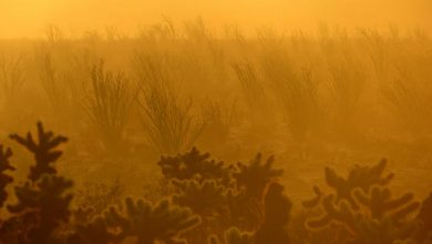 At sunrise, fog descends on an ocotillo forest in Anza-Borrego Desert in Southern California. Less moisture and hotter temperatures driven by climate change are killing off desert vegetation, new UC Irvine research finds.