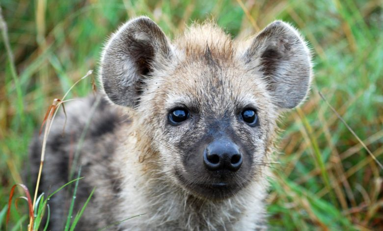Cat-Borne Parasite Toxoplasma – Which Infects 2 Billion People Worldwide – Induces Fatally Bold Behavior in Hyena Cubs