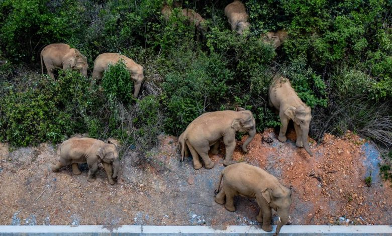 Fifteen elephants are making a mysterious, year-plus march through China