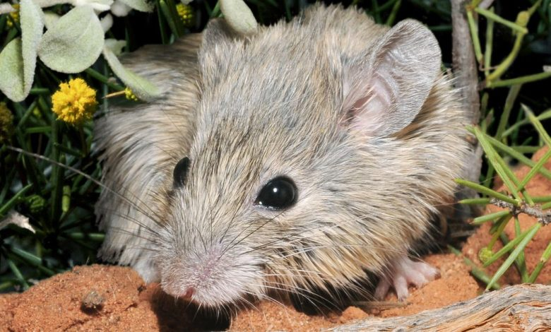 In 'shock find,' Mouse thought to be extinct for 150 years is still alive