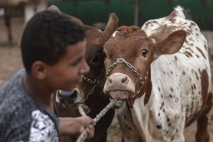 A sacrificial animal is seen for sale at a livestock market.