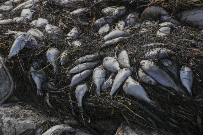 Dead fish from a red tide outbreak are washed up along a waterfront park in St. Petersburg, Fla. An unusually large bloom of toxic red tide is being blamed for a massive fish kill in Florida's environmentally sensitive Tampa Bay.