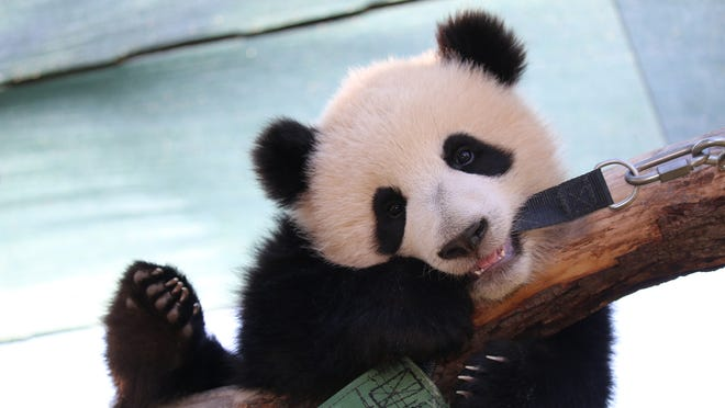 Giant pandas no longer considered endangered: Chinese officials