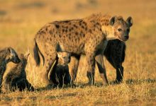 Inherited Social Networks – Passed From Mothers to Offspring – Are Essential to Hyena Life and Survival