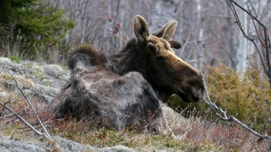 Researchers Discover New Insights About the Wolves and Moose of Isle Royale