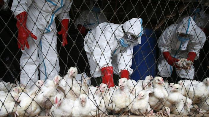 State agents in protective gear from the Ministry of Animal Resources collect poultry for slaughter after the detection of avian influenza declared in the city of Bassam, Ivory Coast, on 20 August 2021