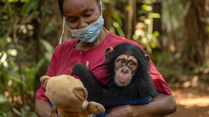 Posseh Kamara takes care of the orphaned baby chimps at the sanctuary