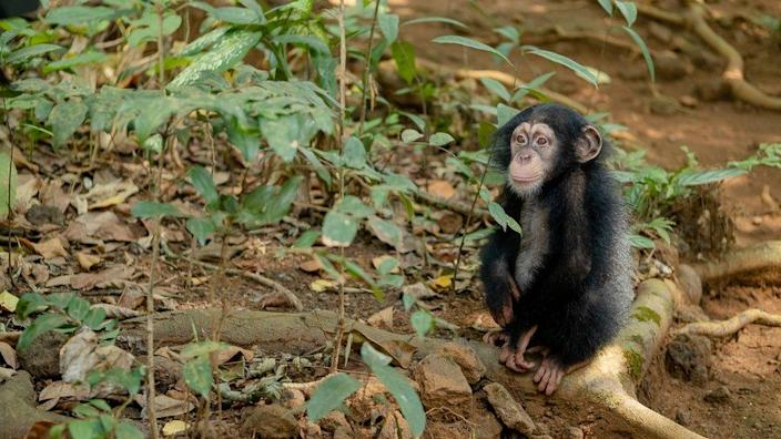 Celia is one of the youngest orphaned chimps to arrive at Tacugama