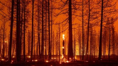 Trees burn during the Dixie Fire near Greenville, Calif., on Aug. 3.