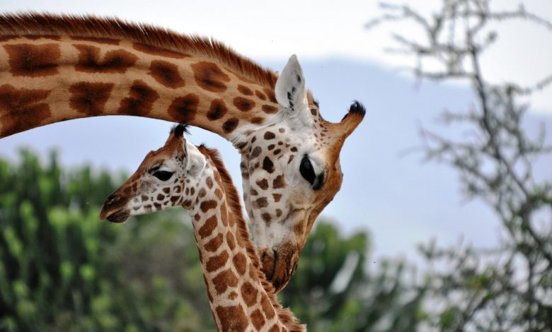 Evidence That Giraffes Are a Highly Socially Complex Species – As Socially Sophisticated As Elephants