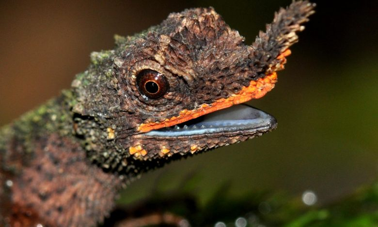 New DNA Analysis Provides Critical Information on Conserving Rainforest Lizards