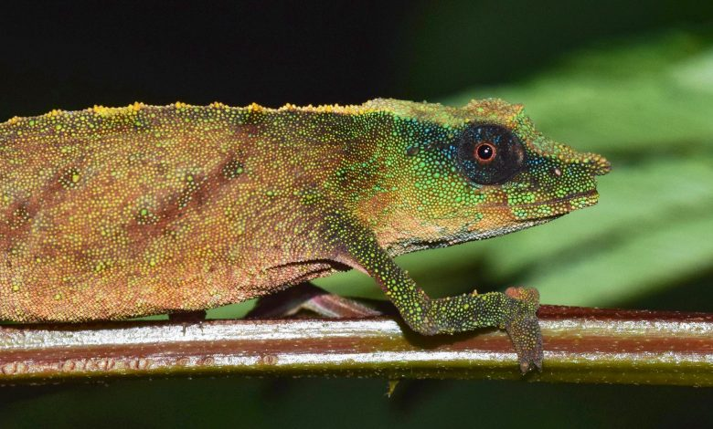One of World's Rarest Chameleons Found Clinging to Survival in Patches of Rainforest in Malawi
