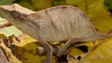 Rare chameleon feared extinct found clinging to life in shrinking forest