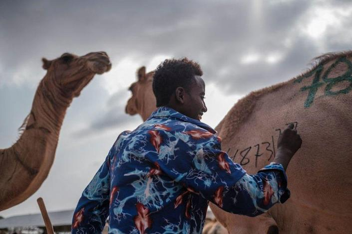 A man writes a number on a camel at a livestock market.