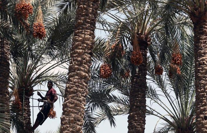 A farm worker climbs a palm tree to pick dates at Miit Rahina, south Giza governorate.