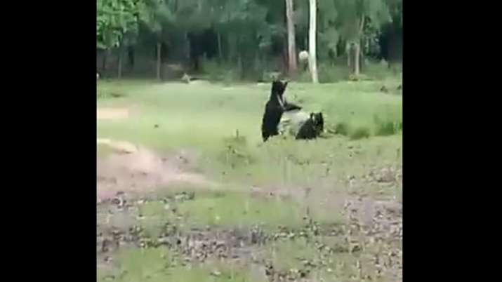 Bears seen playing football in a rare video.