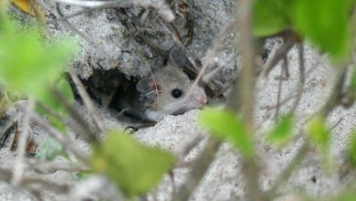 Burrowing Beach Mice Seek Shelter at NASA's Kennedy Space Center
