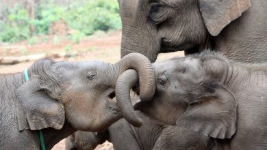 Elephants Benefit From Having Older Siblings – Especially Sisters