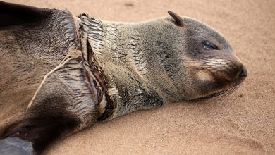Hundreds of Cape Fur Seals Entangled in Fishing Lines and Nets Every Year – Causing Horrific Injuries and Painful Deaths