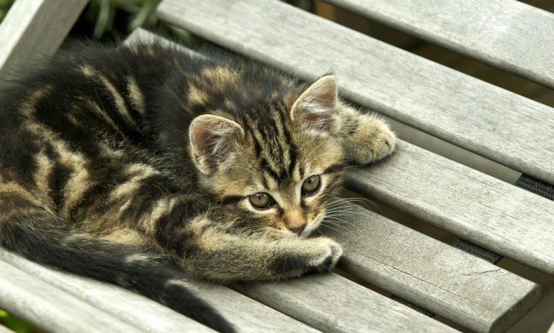 Scientists reveal how tabby cats get their distinctive stripes