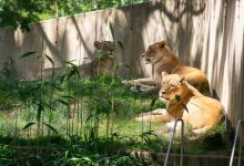 Lions and tigers at the Smithsonian's National Zoo have tested presumptive positive for the virus that causes COVID-19. All great cats are being treated with medication and are under close observation.