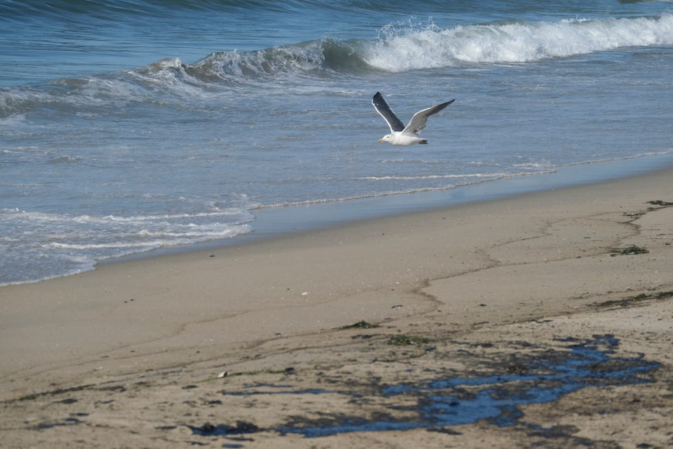 A seagull flies over oil washed up by the coast in Huntington Beach, Calif., on Sunday., Oct. 3, 2021.