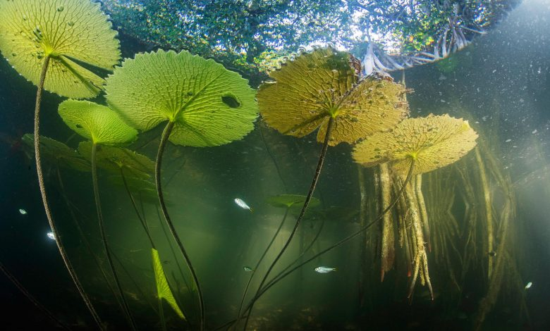 Hidden Mangrove Forest Deep in the Heart of the Yucatan Peninsula Reveals Ancient Sea Levels