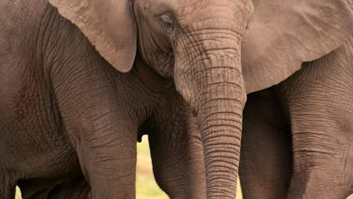 Intense Ivory Poaching Leads to Rapid Evolution of Tuskless African Elephants