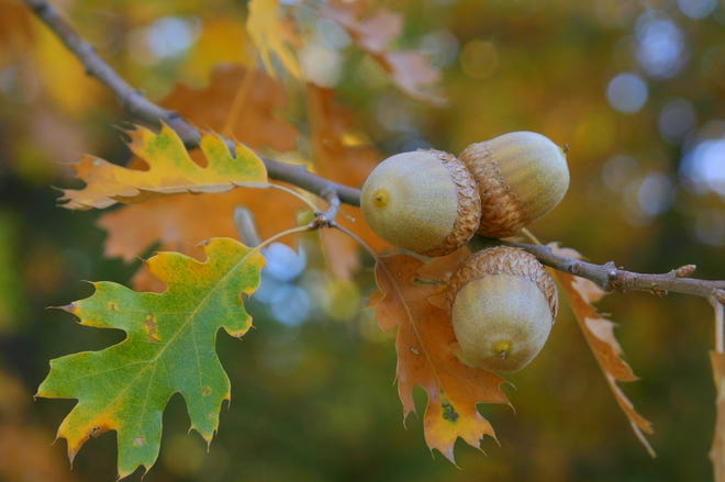Have you been noticing more acorns falling around you? You could be in the middle of a mast year for oak trees.