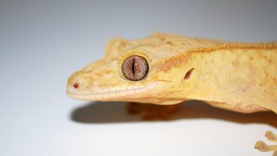 Stem Cells Help Lizard Regenerate a Perfect Tail for First Time in More Than 250 Million Years