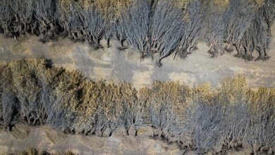 Dead almond trees lie in an open field after they were removed by a farmer because of a lack of water to irrigate them, in Huron, Calif., a town in the drought-stricken Central Valley, on July 23.