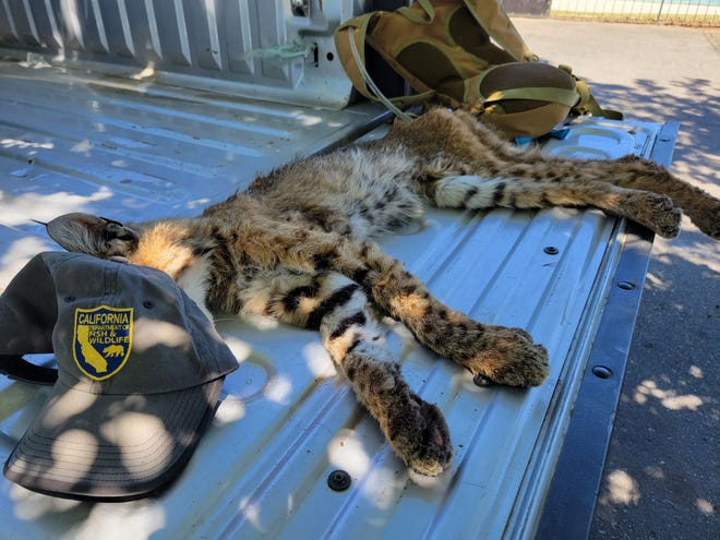 Emaciated with burned paws, this bobcat - whose face is shielded from the sun by his rescuer's cap - was rescued in June 2021 from a Siskiyou County golf course next to the Lava Fire.