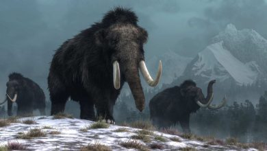 Woolly mammoth extinction blamed on climate change, not human hunting